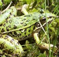 leopardfrog-thumb.png