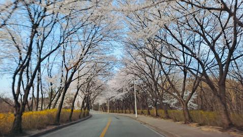 우리학교 벚꽃 만발!!