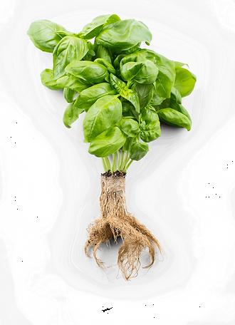 italian-basil-roots.png
