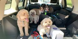 doggos in car.jpeg