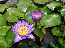 YDL Purple Lotus pt