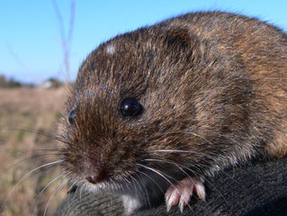Want to be a Vole?