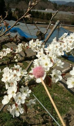 春の梨の花