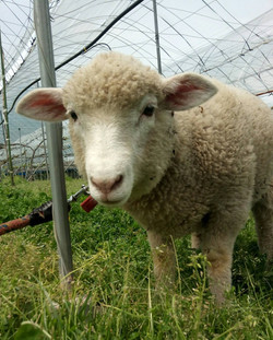 羊に癒されます