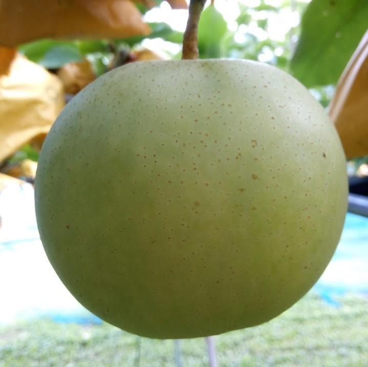 二十世紀梨は秋の味覚