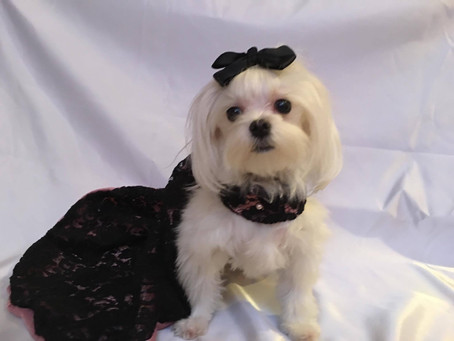 Roxie in It-Dogs Couture