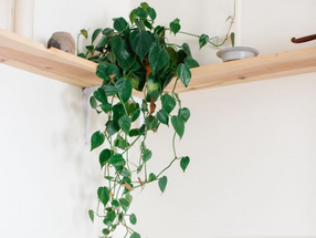 Heart-Leaf Philodendron/The Sweetheart Plant