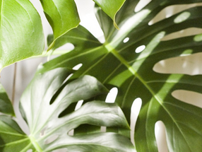 Monstera / The Swiss Cheese Plant