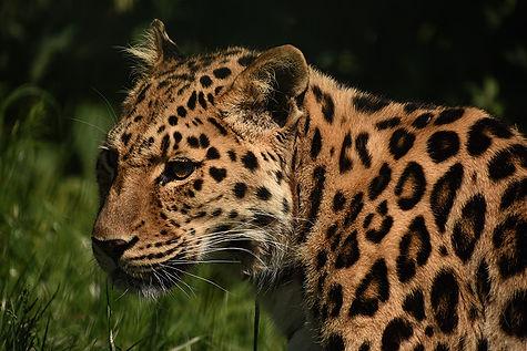 Annie  Bourke - Amur leopard, Big Cat Sa
