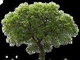 oak tree1.png