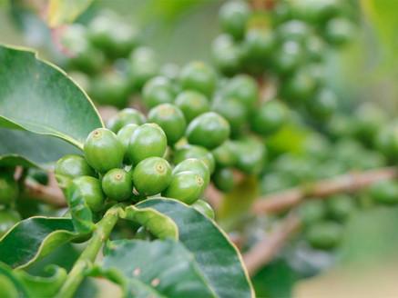 Produce el sur mexiquense 570 toneladas de café anuales