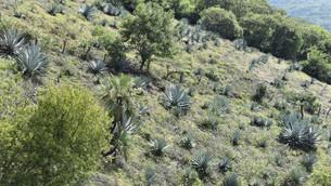 Protegen producción de agave en Edoméx