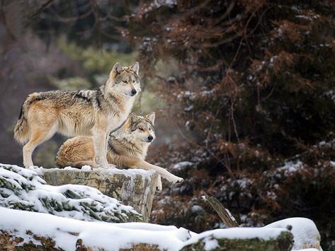 Coatepec Harinas, guardián del lobo gris mexicano