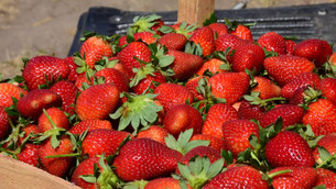 Edoméx fresa, produce casi 8 mil toneladas al año