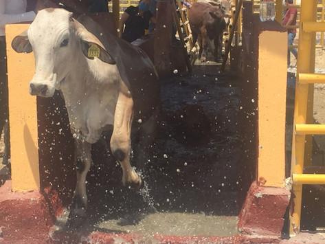 Continúa en el sur control de garrapatas en ganadería