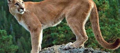 Dejan pumas importantes pérdidas a ganaderos de Nanchititla