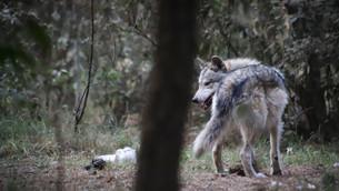 Recuperan sano y salvo a lobo gris que se había escapado de albergue en Tenancingo
