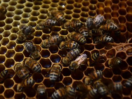 Insentiva Edoméx la producción de abejas