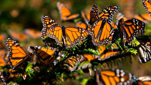 Aumenta  presencia de mariposa monarca en bosques mexicanos