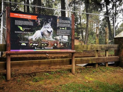 Escapa lobo gris mexicano macho, de albergue provisional en Tenancingo