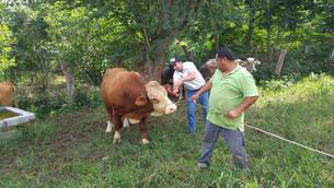 """Detectan ganaderos del sur casos de corrupción en venta de ganado """"ilegal""""."""