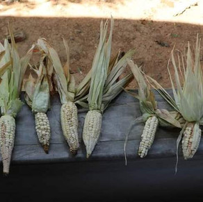 Falta de lluvias causa pérdidas a campesinos sureños