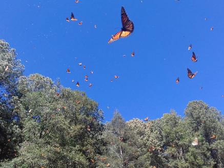Donato Guerra, municipio protector de la mariposa monarca