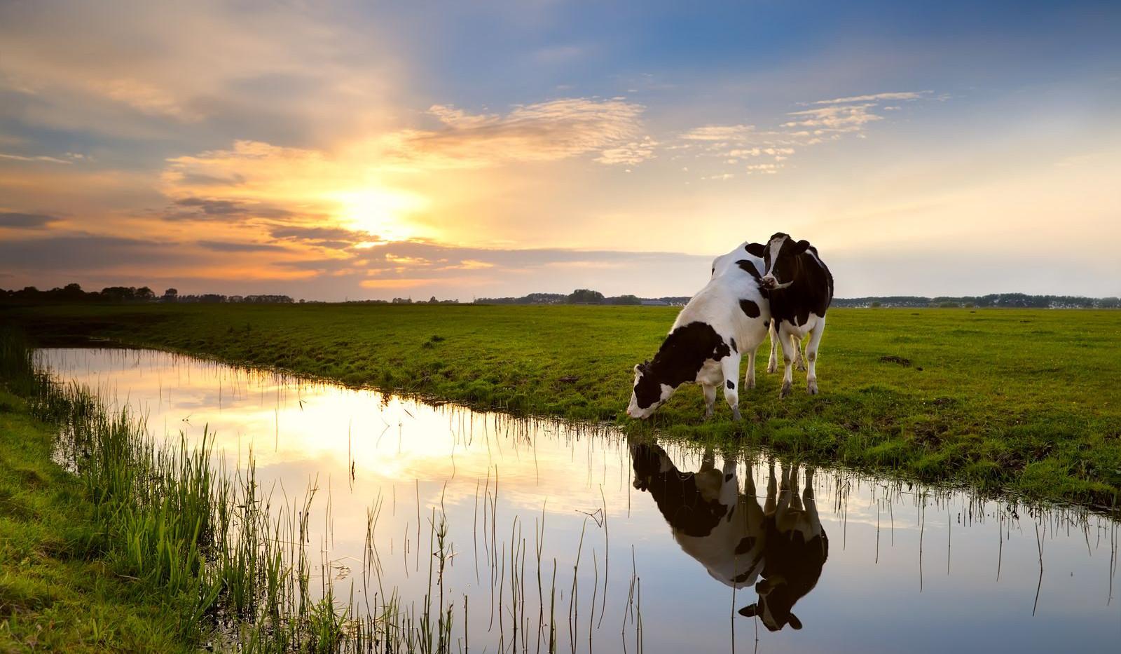le-jardin-deden-des-vaches-laitieres.jpg