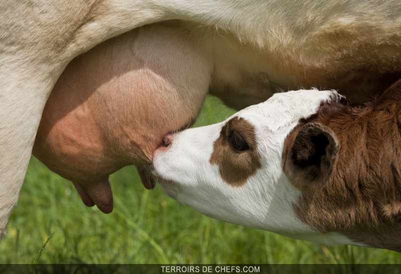Veau-de-lait_zoom
