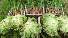 Légumes et distributions aux adhérents
