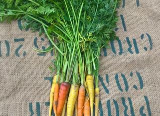 La carotte en hiver