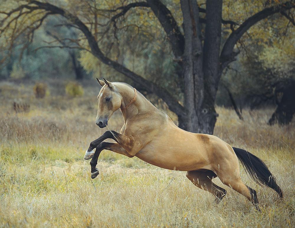 buckskin akhalteke horse rearing in liberty