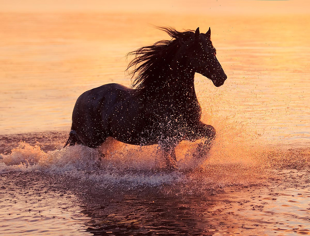 black friesian horse in sunset water