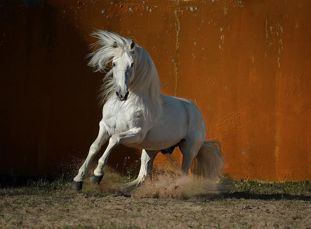 white Lusitano horse runs free near orange wall