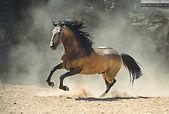 buckskin lusitano horse runs free