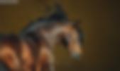 bay lusitano horse portrait