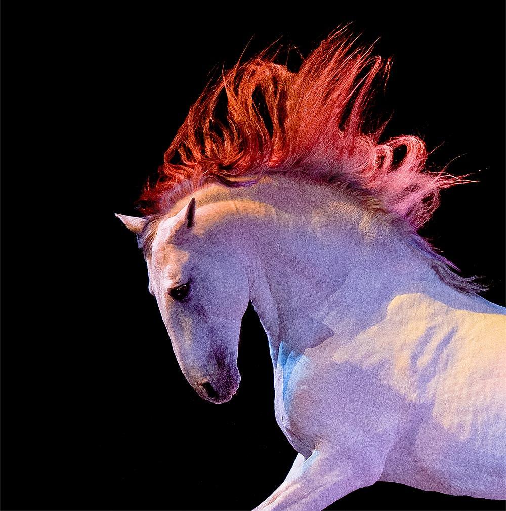 white PRE horse portrait in motion in studio light