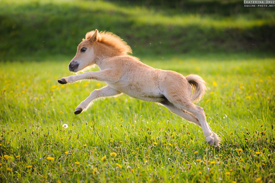 BIG JOY OF SMALL HORSE