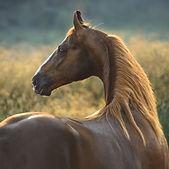 beautiful marwari horse portrait