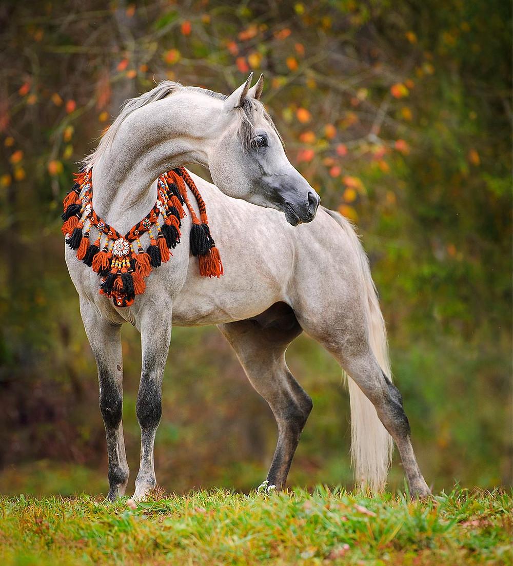 grey arabian horse in traditional tack