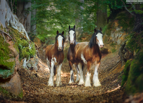 THREE CLYDESDALES IN WOODS
