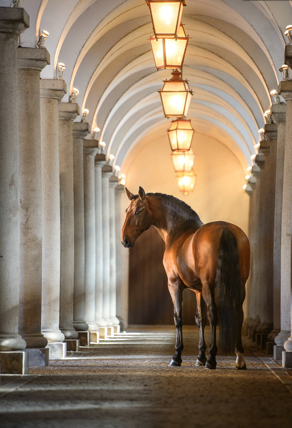 Bay Lusitano horse in Alter Real stud farm in Portugal