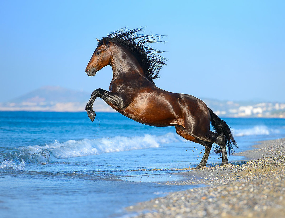 bay Andalusian horse in the sea