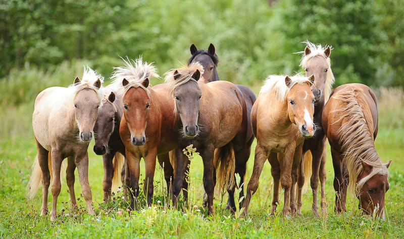 pony herd on the grass