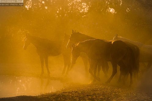 Herd of Marwari mares