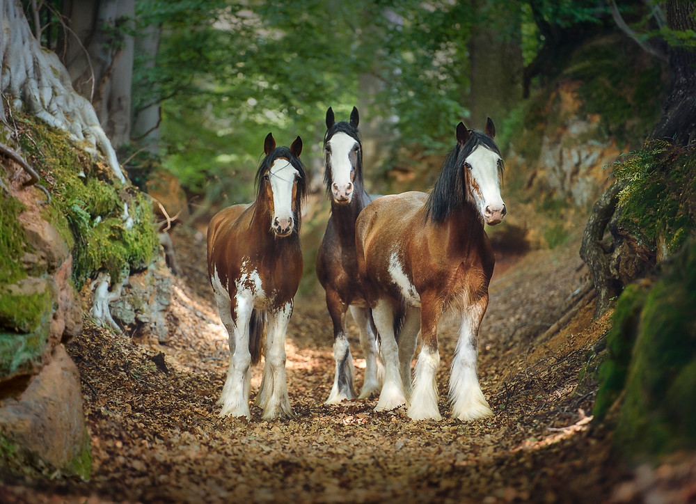 three heavy draft horses stand in the green forest