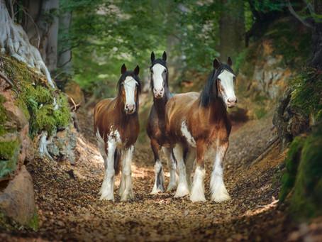 DRAFT HORSES OF HORSELAND STUD FARM