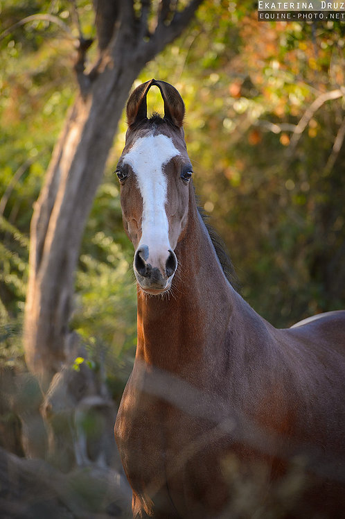 Portrait of Marwari mare