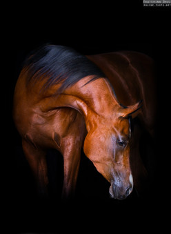 PORTRAIT OF ARABIAN HORSE