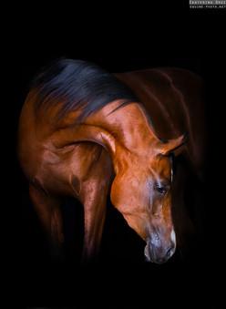 PORTRAIT OF ARABIAN HORSE